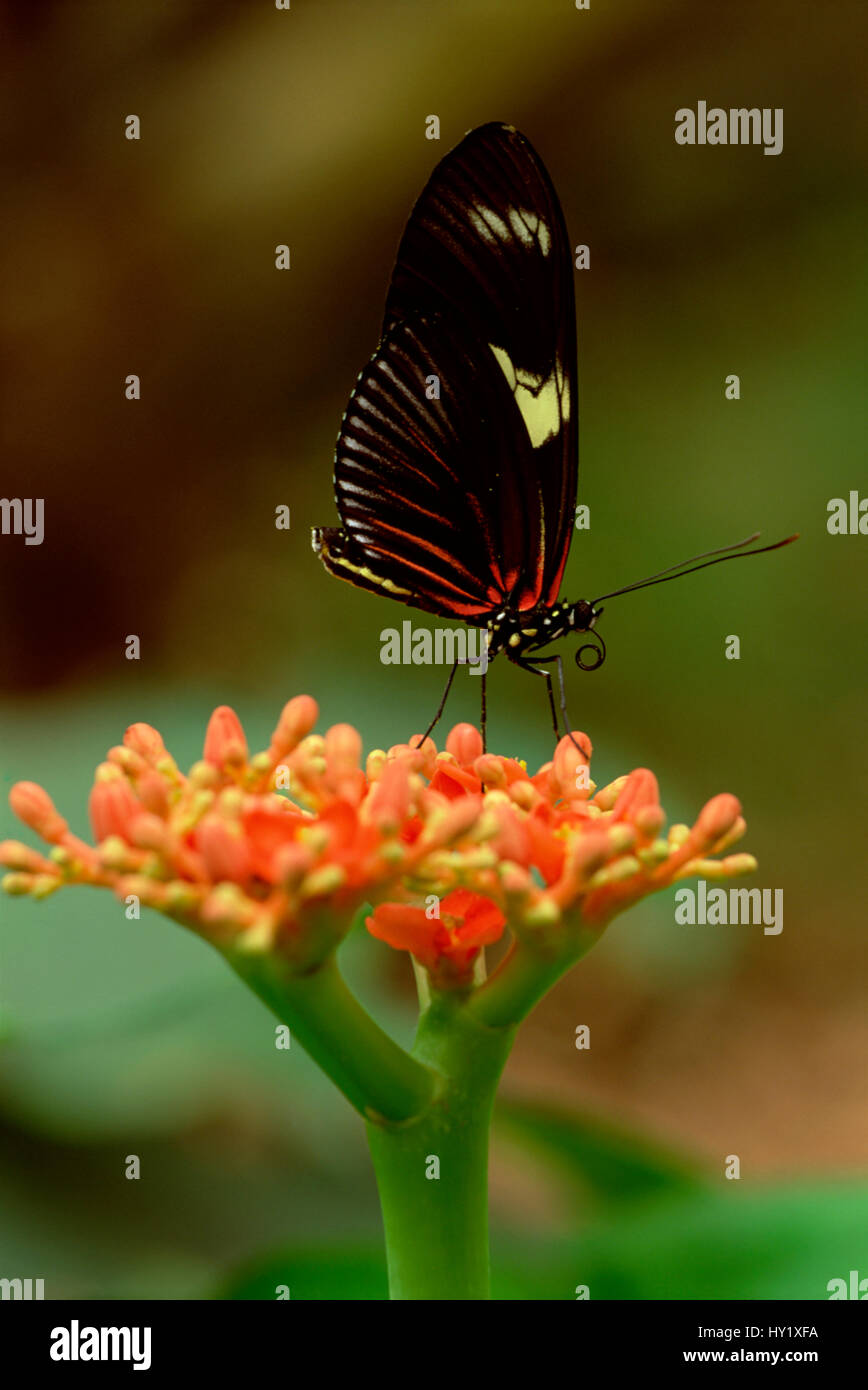 Heliconius butterfly (Heliconius ismenius) on rainforest flower. Ecuador. - Stock Image