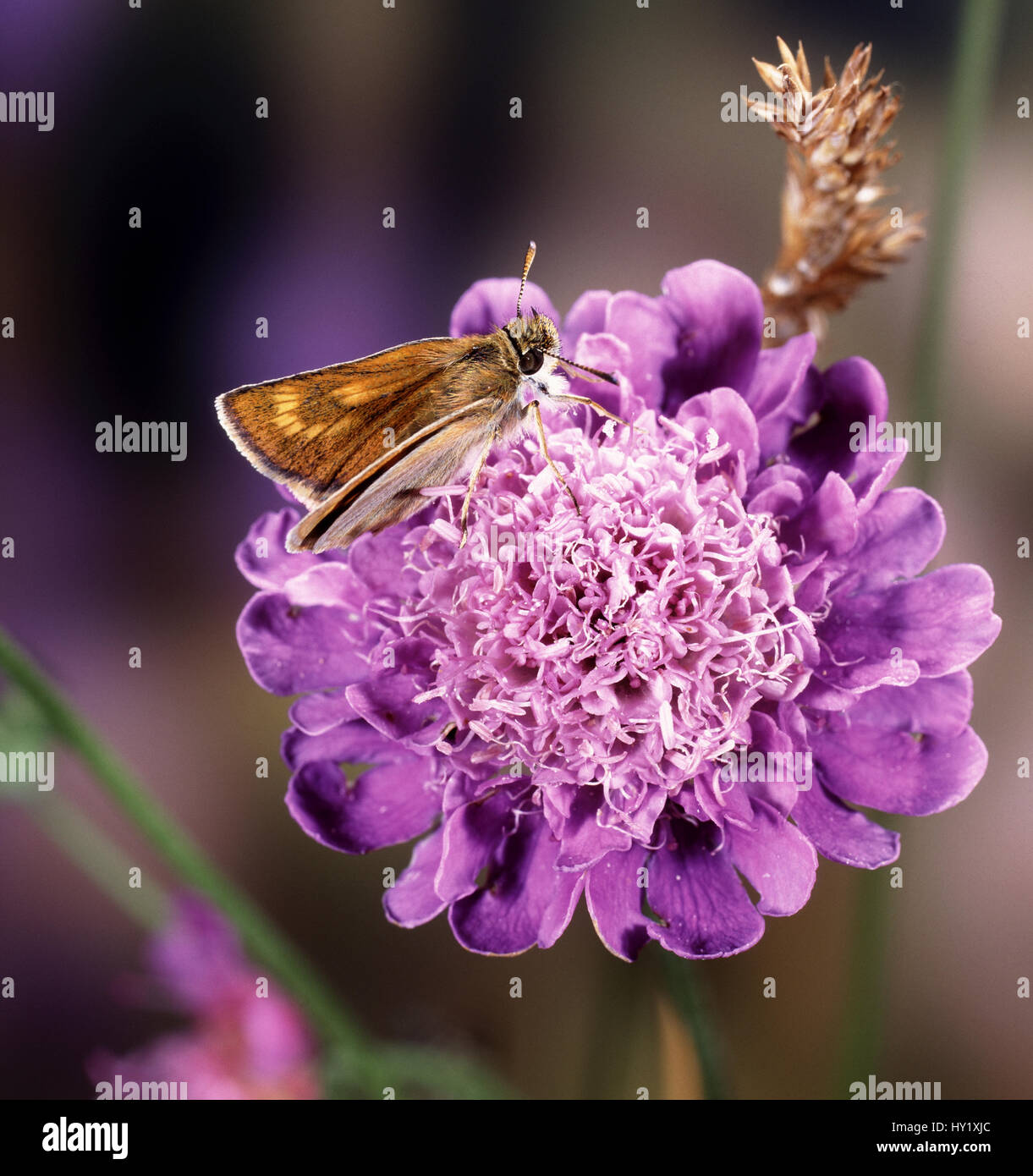Lulworth Skipper butterfly (Thymelicus acteon) female on field scabious. England. - Stock Image