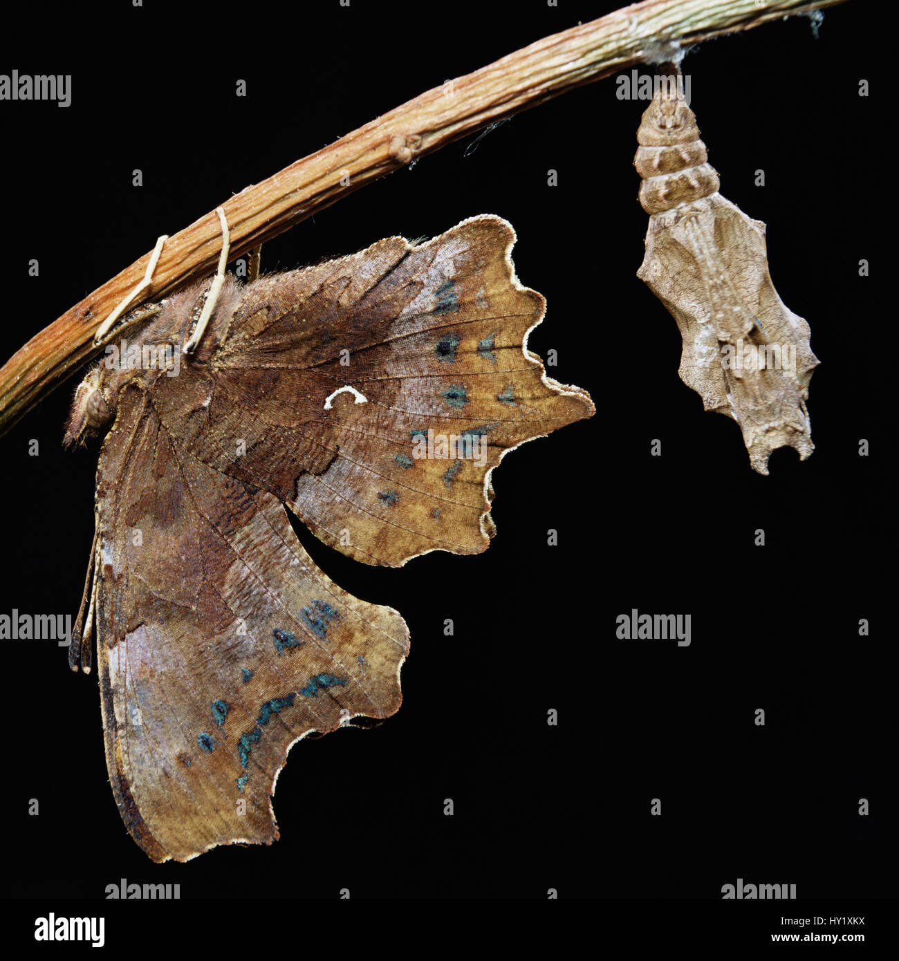 Comma butterfly newly emerged from pupal case (Polygonia c-album) UK. - Stock Image