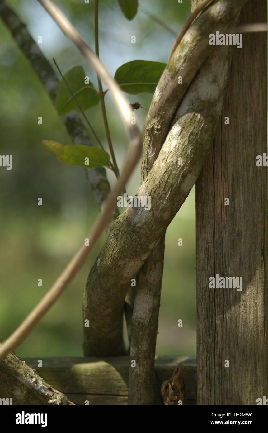 Twisted vine - Stock Image
