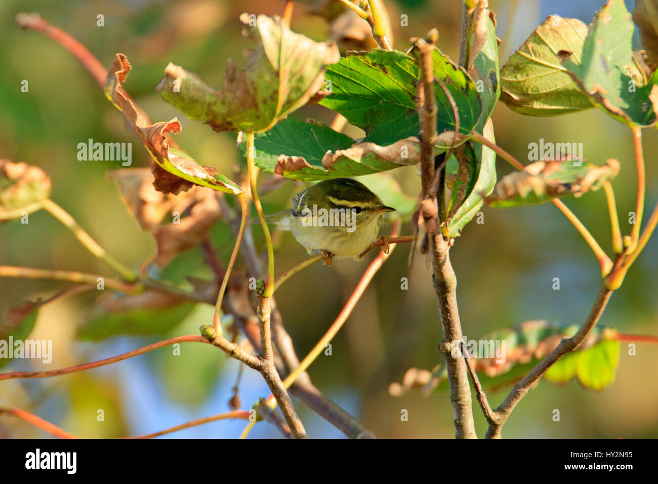 Yellow-browed Warbler (Phylloscopus inornatus) in sycamore leaves. Pouillot à grands sourcils. Gelbbrauen-Laubsänger. Stock Photo