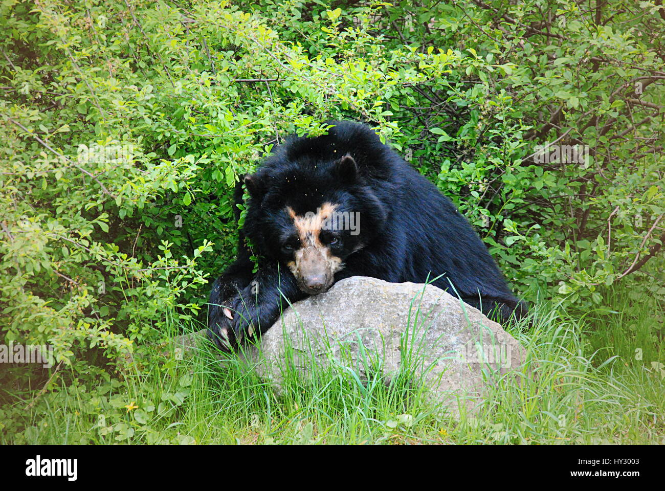 andean bear resting Stock Photo