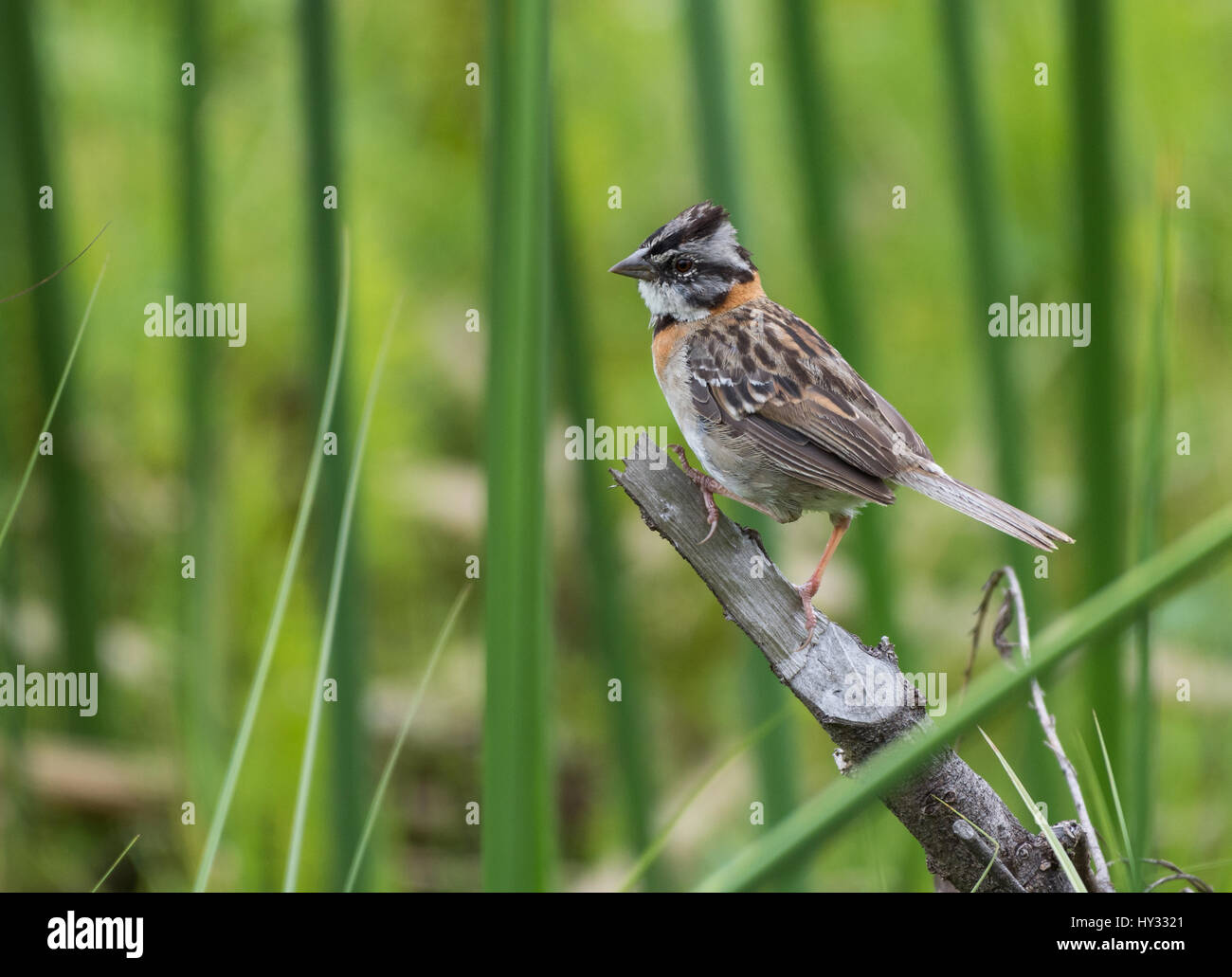 Rufous-collared Sparrow (Zonotrichia capensis) perched on a branch. Peru. Stock Photo