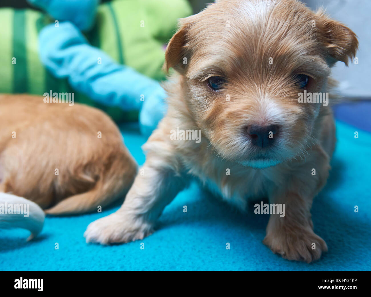 TIred Havaneser puppy looks into the camera Stock Photo