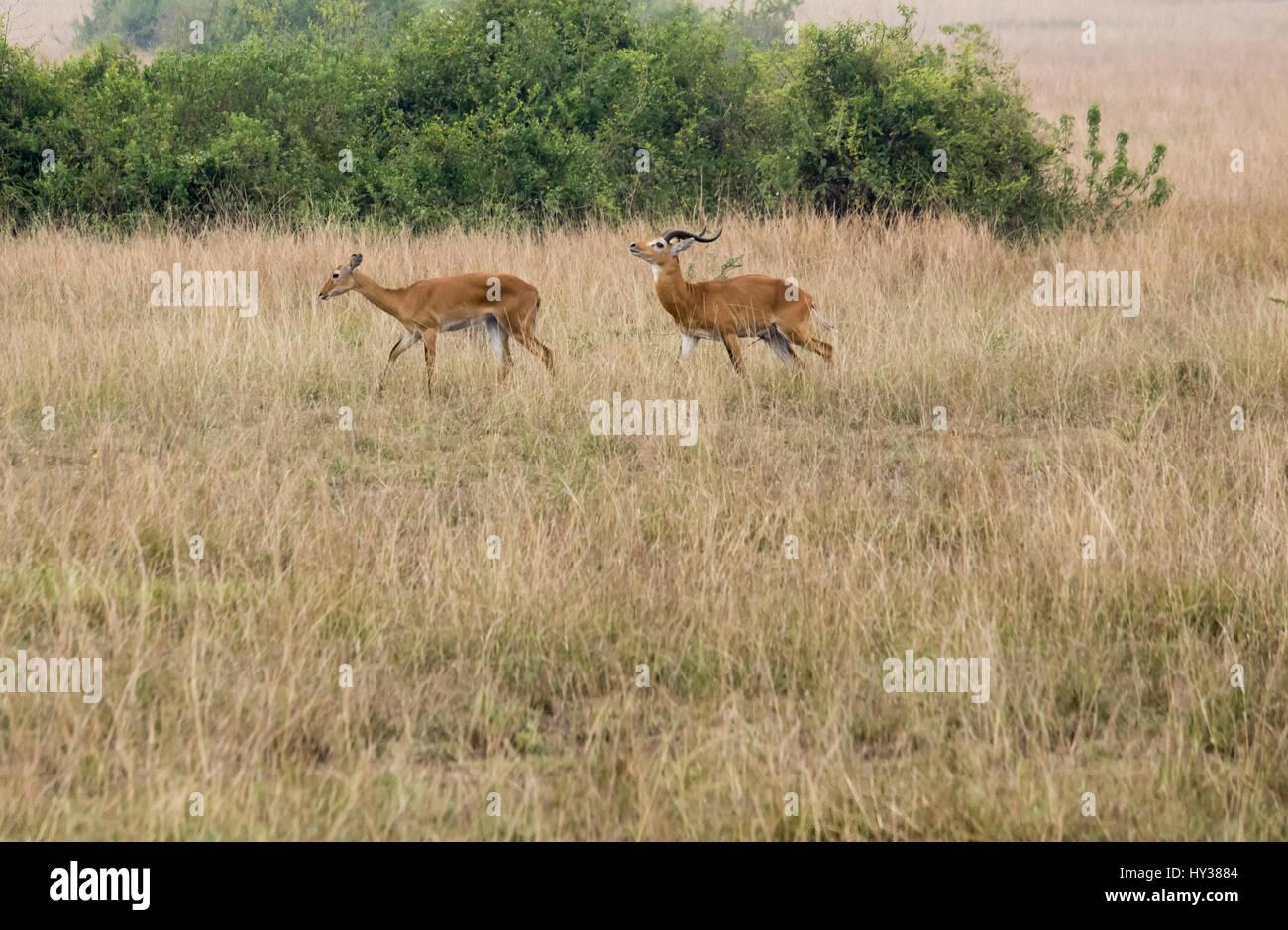 Kob antelope on mating grounds in Queen Elizabeth National Park, Uganda, Africa. - Stock Image