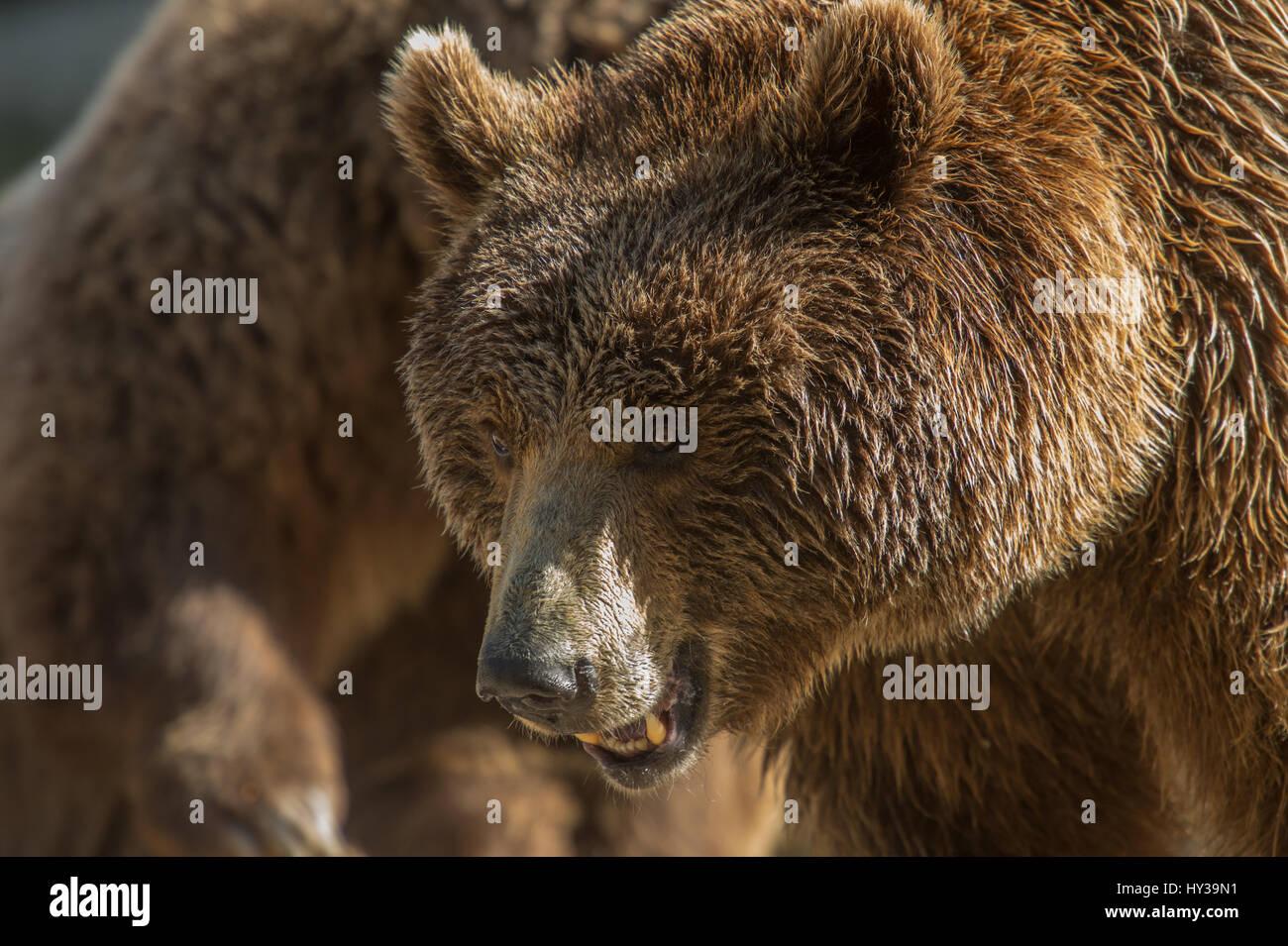 Brown Bear, Ursus arctos, Ursidae - Stock Image