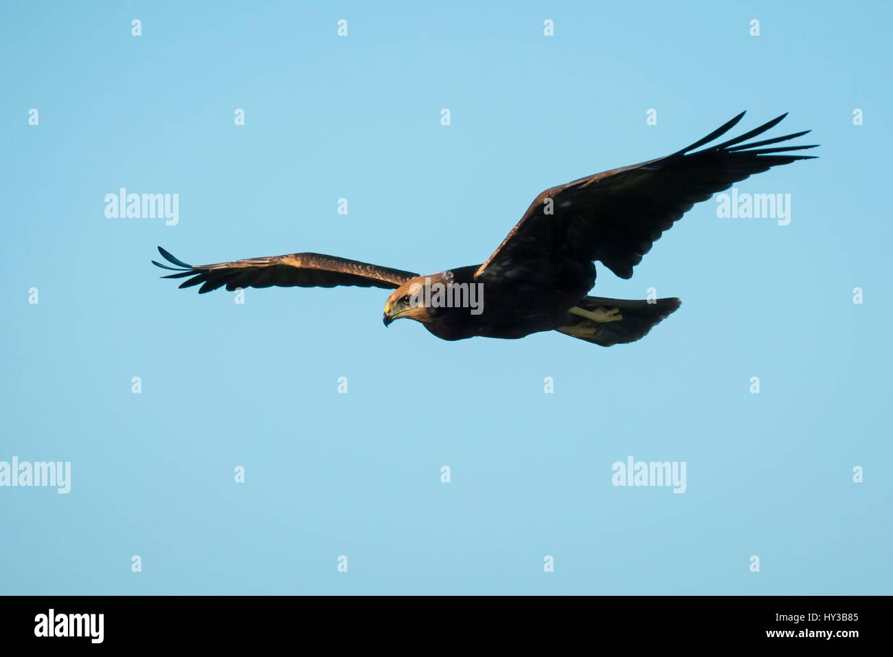 Western marsh harrier, Circus aeruginosus, bird of prey in flight searching and hunting above a field Stock Photo