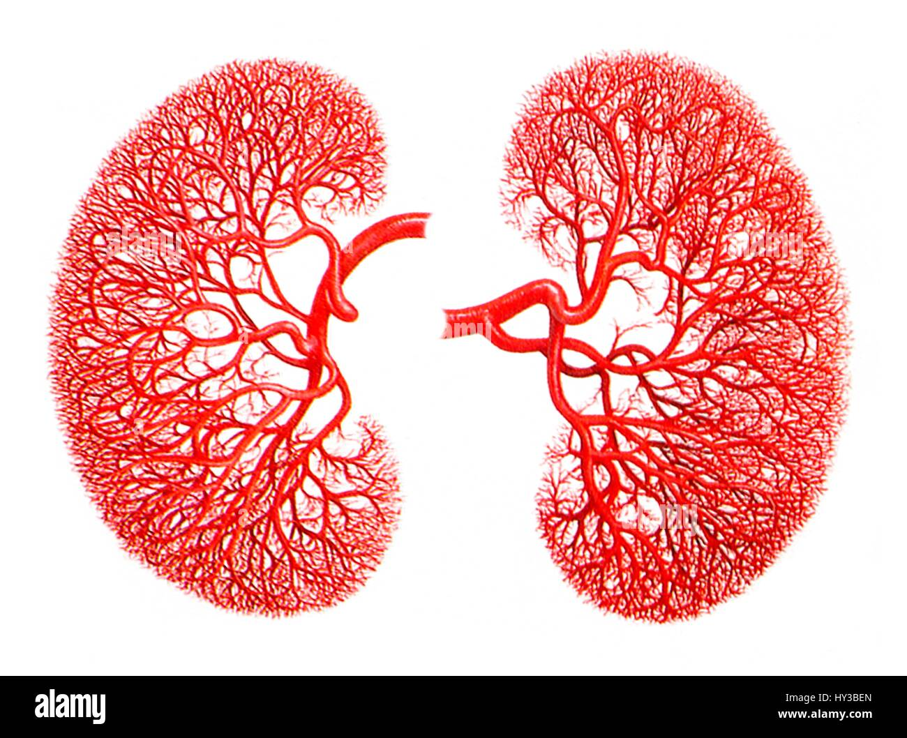 Computer Artwork Of The Blood Supply To Human Kidneys Showing The