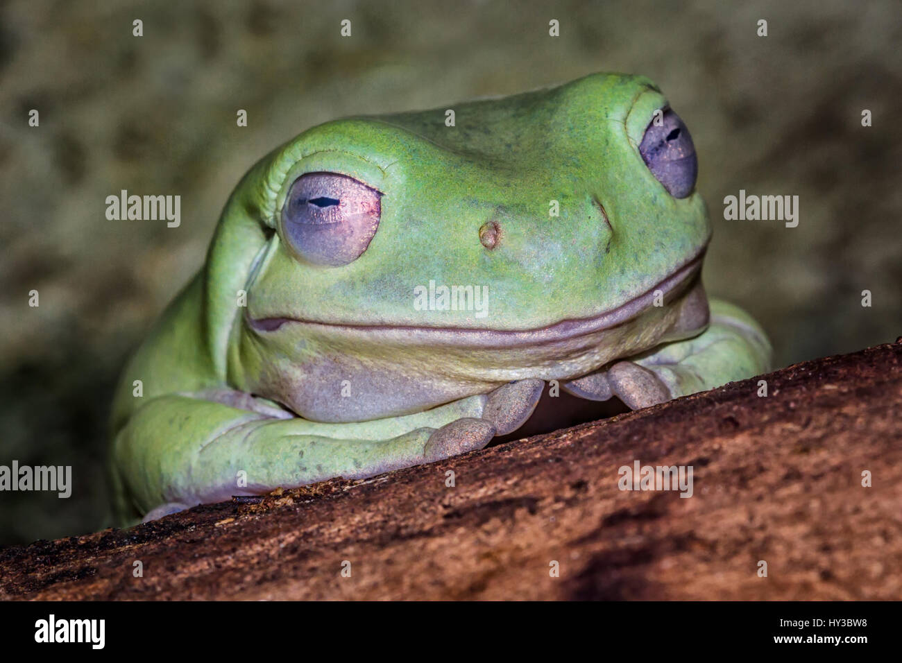 very close up image of the head of a whites tree frog resting on a log showing eye detail and appearing to be smiling Stock Photo