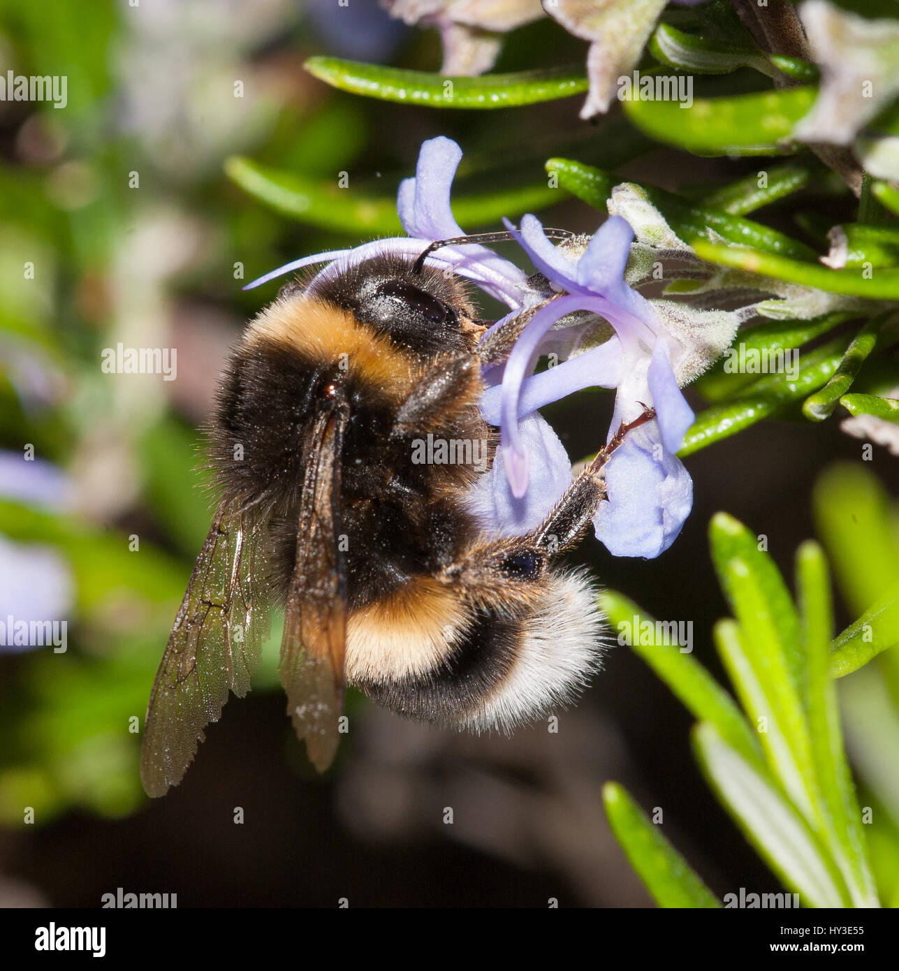 Bumblebee feeding on nectar from rosemary flowers - Stock Image