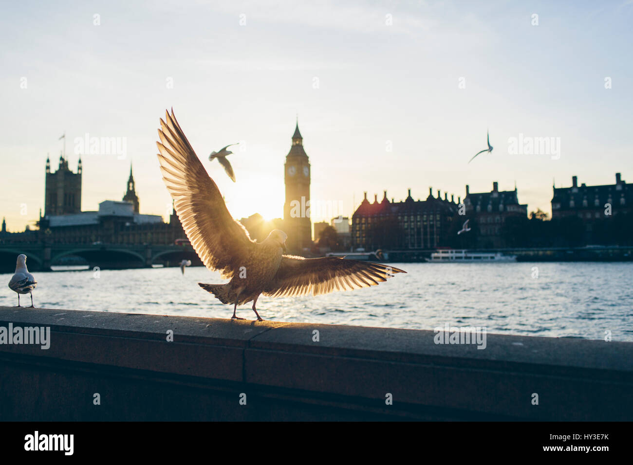 UK, England, London, Birds on bank of River Thames with Houses of Parliament and Westminster Bridge in background - Stock Image