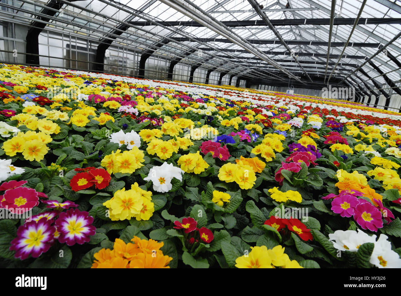 Coloured primroses in a greenhouse, Bunte Primeln in einem Gewächshaus - Stock Image