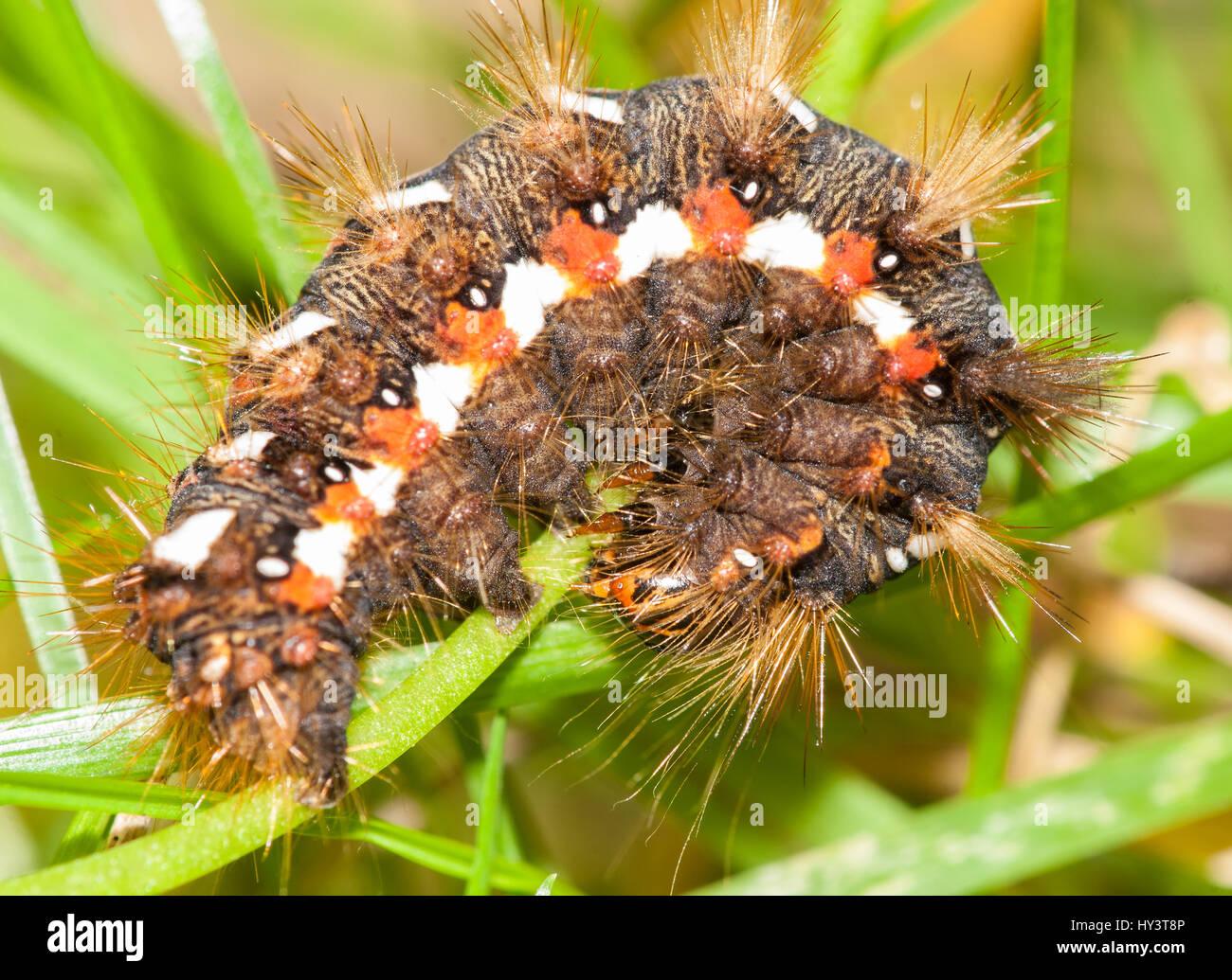 Acronicta rumicis. Polilla perteneciente a la familia noctuidae. Pueden presentar dos generaciones anuales, con - Stock Image