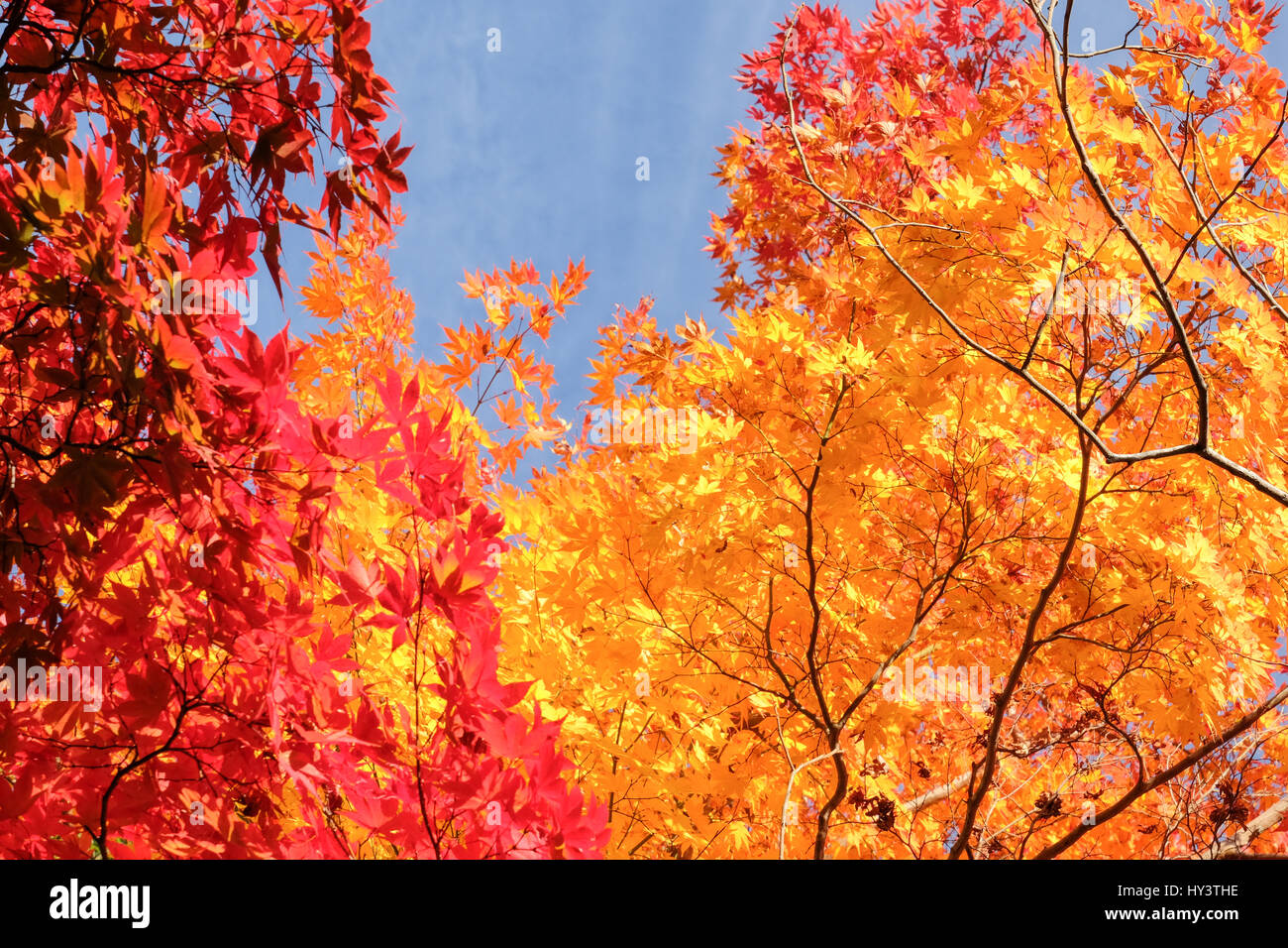 Autumn colour trees with blue sky in Kyoto, Japan - Stock Image