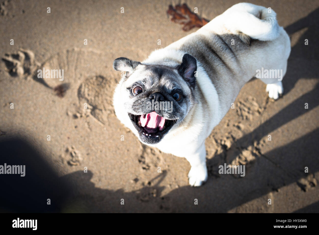 Happy pug dog playing on Bantham beach in Devon, England - Stock Image
