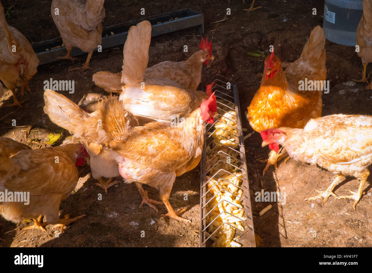 Hens feeding on healthy foods . - Stock Image