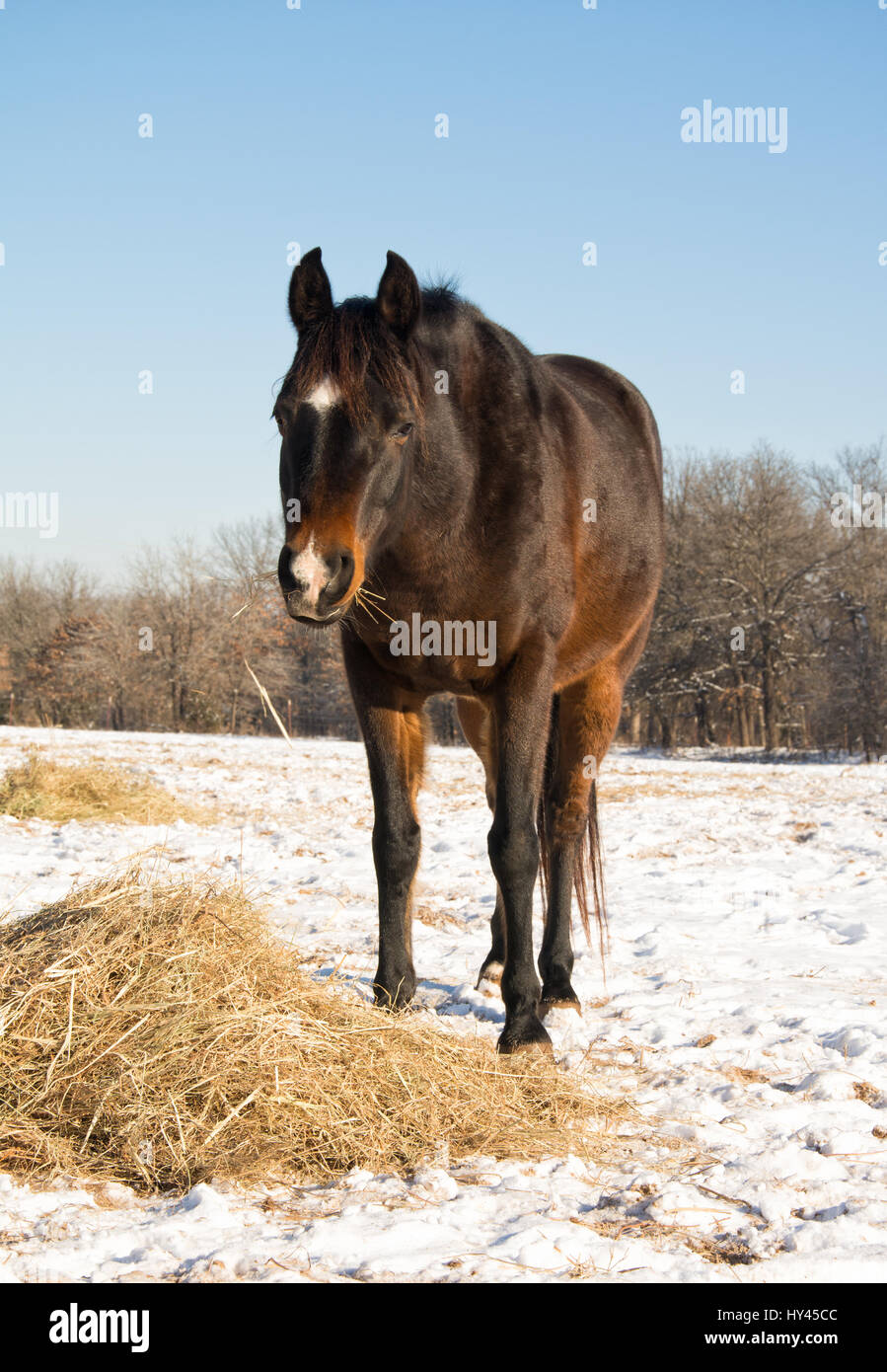 Dark bay horse eating his hay in a snowy pasture on a sunny winter day - Stock Image