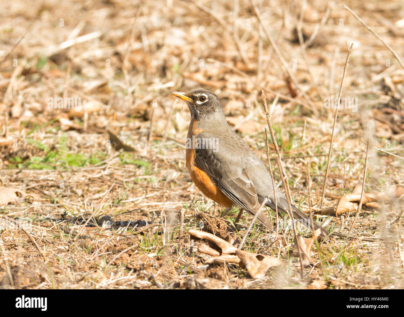 American Robin hiding in plain sight, sitting motionless, camouflaged against dry grass and leaves - Stock Image
