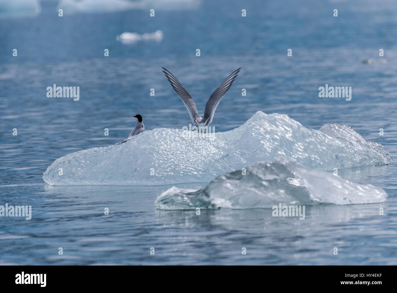 Two arctic terns  (Sterna paradisaea) perched on an iceberg in the inside passage of Alaska, USA. - Stock Image