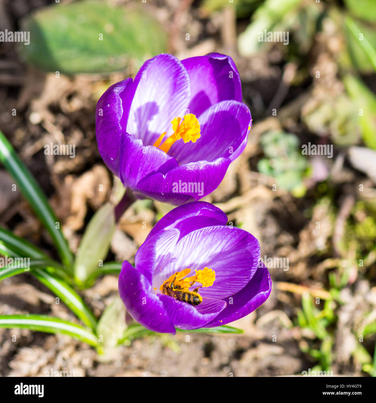 Blooming Spring Crocuses in a sunny spot - Stock Image