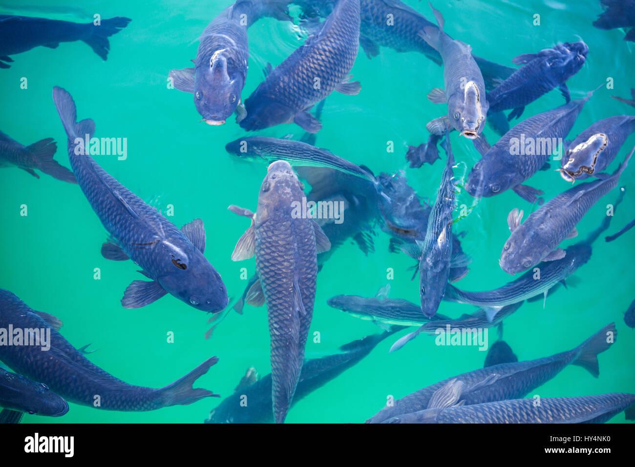 USA, Nevada, Hoover Dam, Lake Mead, fish, carp Stock Photo