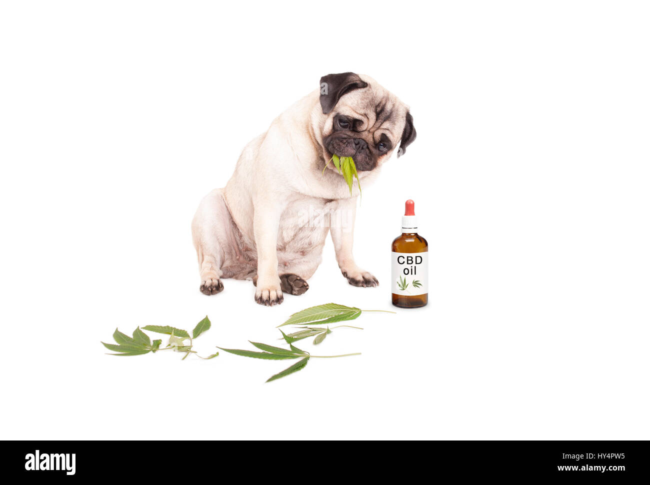 cute pug puppy pet dog eating weed, Cannabis sativa, leaves sitting next to dropper bottle of CBD oil for animals, - Stock Image