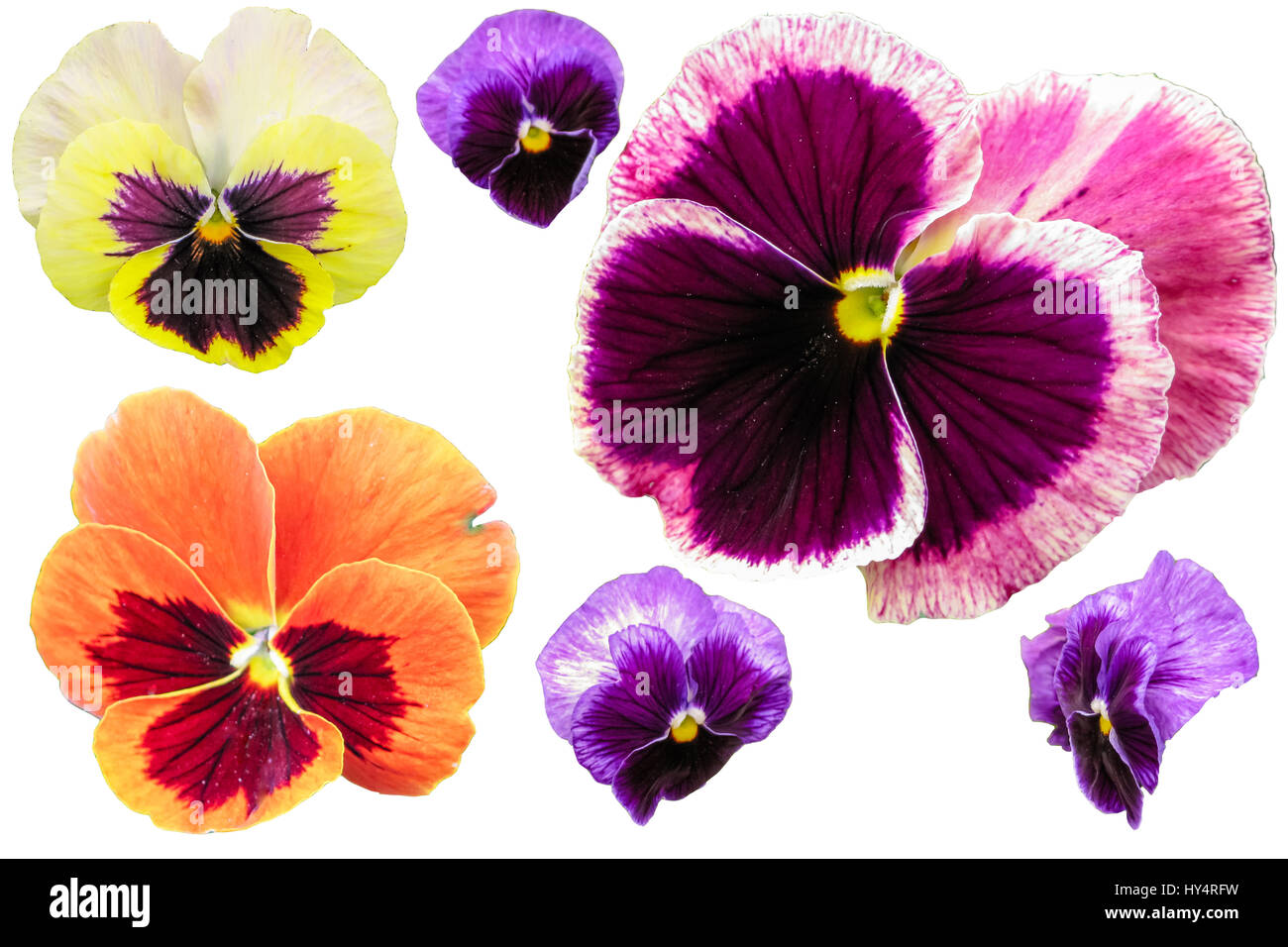 Pansy flowers isolated on white background. Viola tricolor red blue yellow macro closeup. Stock Photo