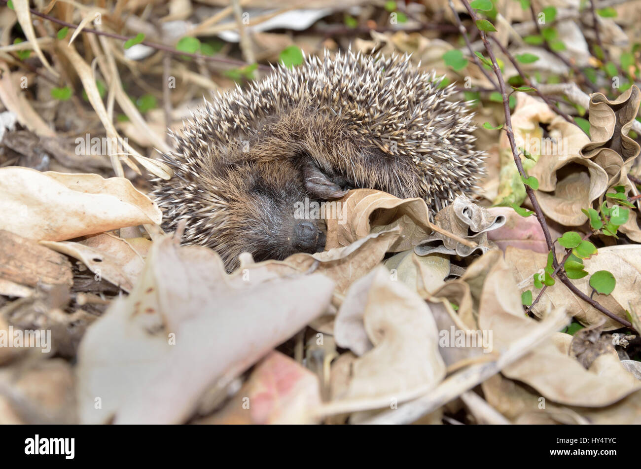 A young hedgehog plays possum after being disturbed in the garden - Stock Image