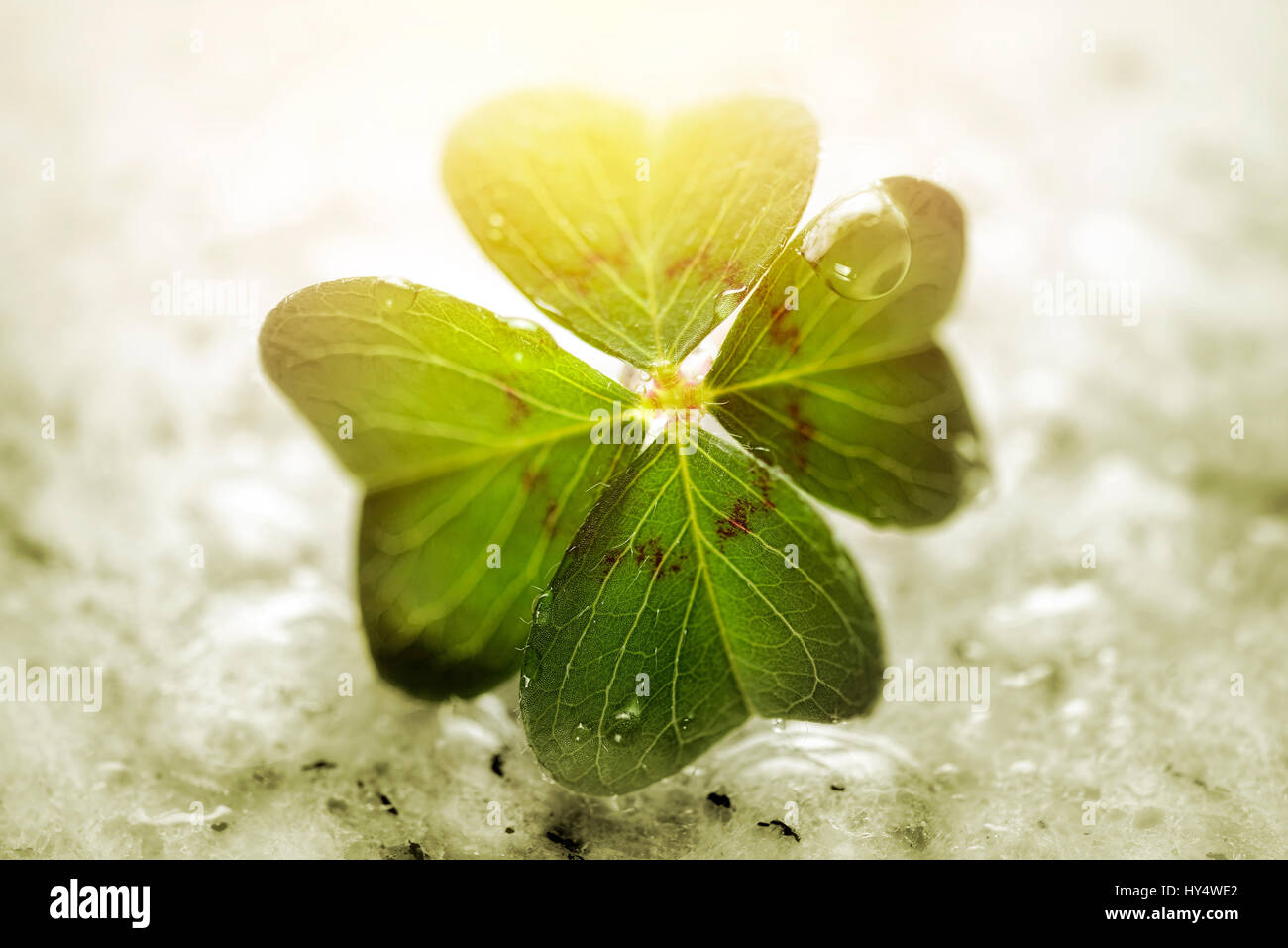 4-leaved cloverleaf, four-leafed clover, Oxalis tetraphylla, luck symbol, Vierblaettriges Kleeblatt, Gluecksklee Stock Photo