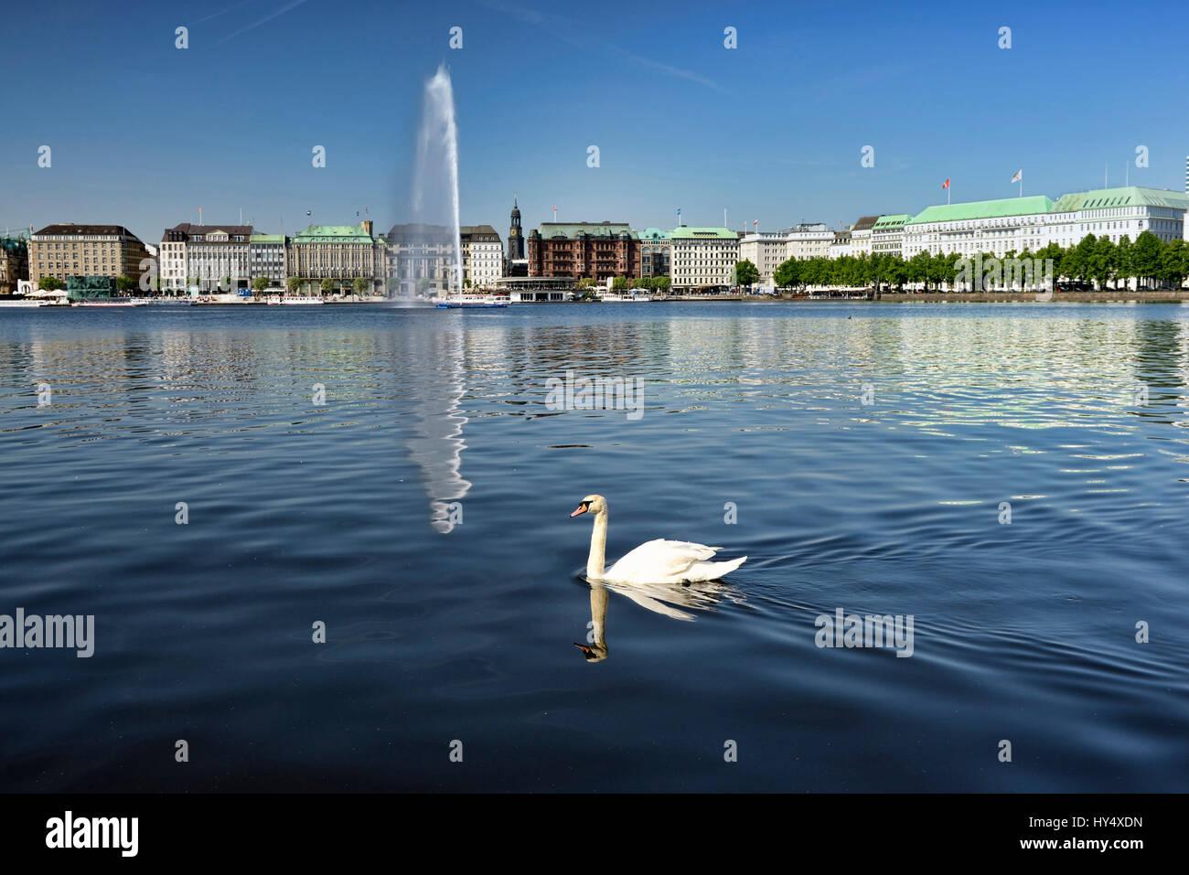 Alster swan on the Inner Alster in Hamburg, Germany, Europe, Alsterschwan auf der Binnenalster in Hamburg, Deutschland, - Stock Image