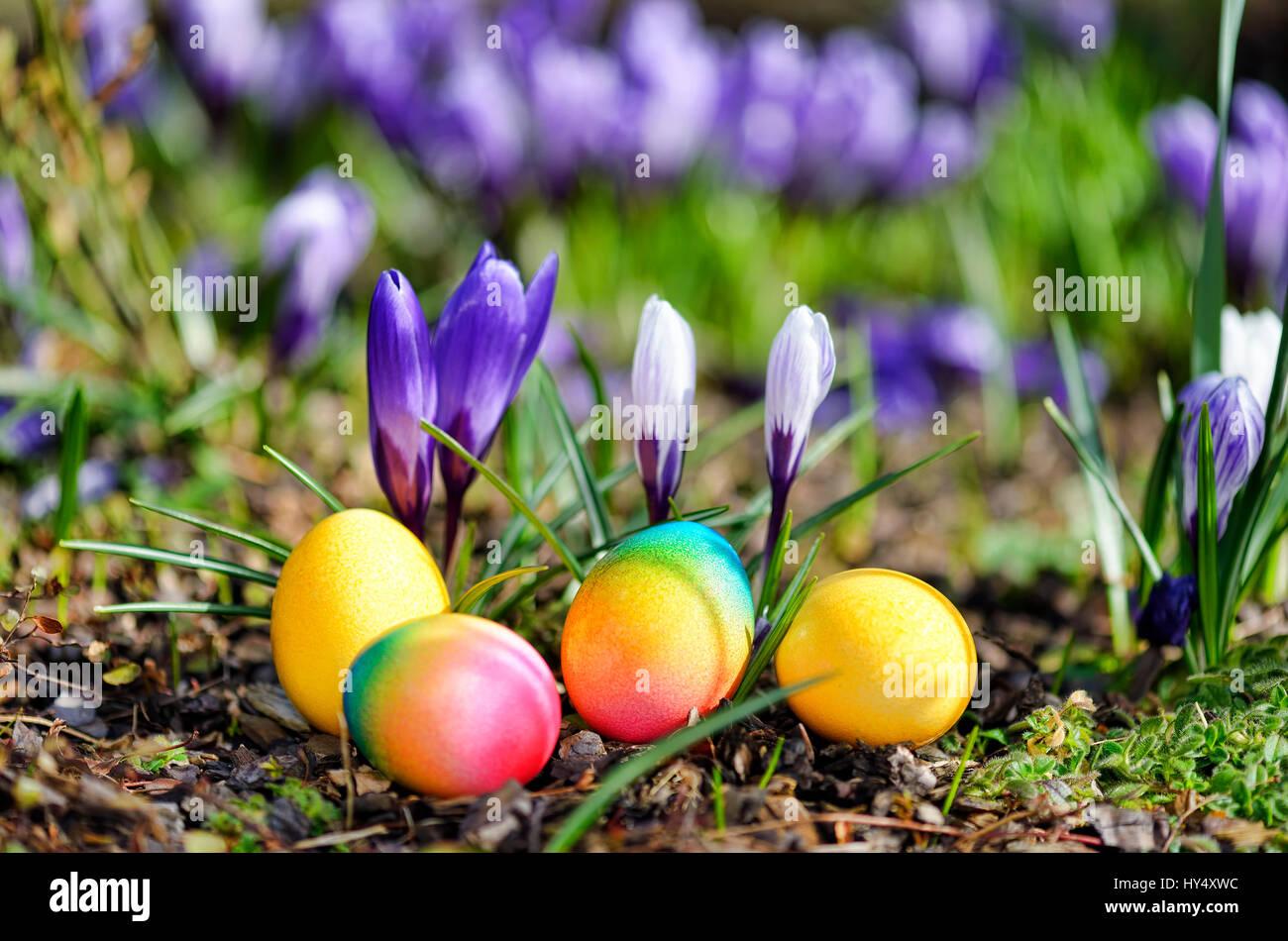 Easter eggs before blossoming crocuses, Ostereier vor bluehenden Krokussen Stock Photo