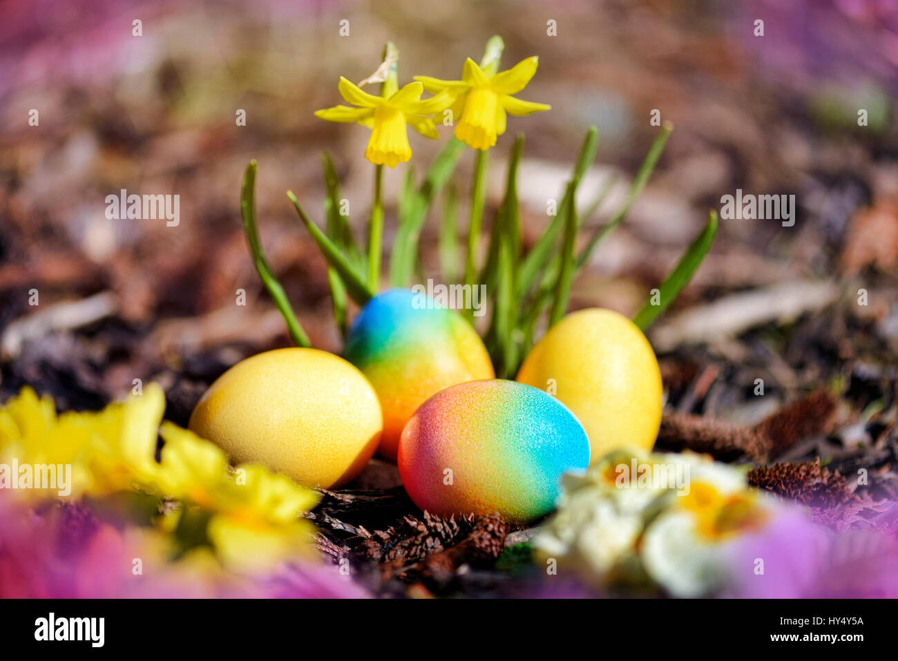 Coloured Easter eggs before blossoming narcissi, Bunte Ostereier vor bluehenden Narzissen Stock Photo