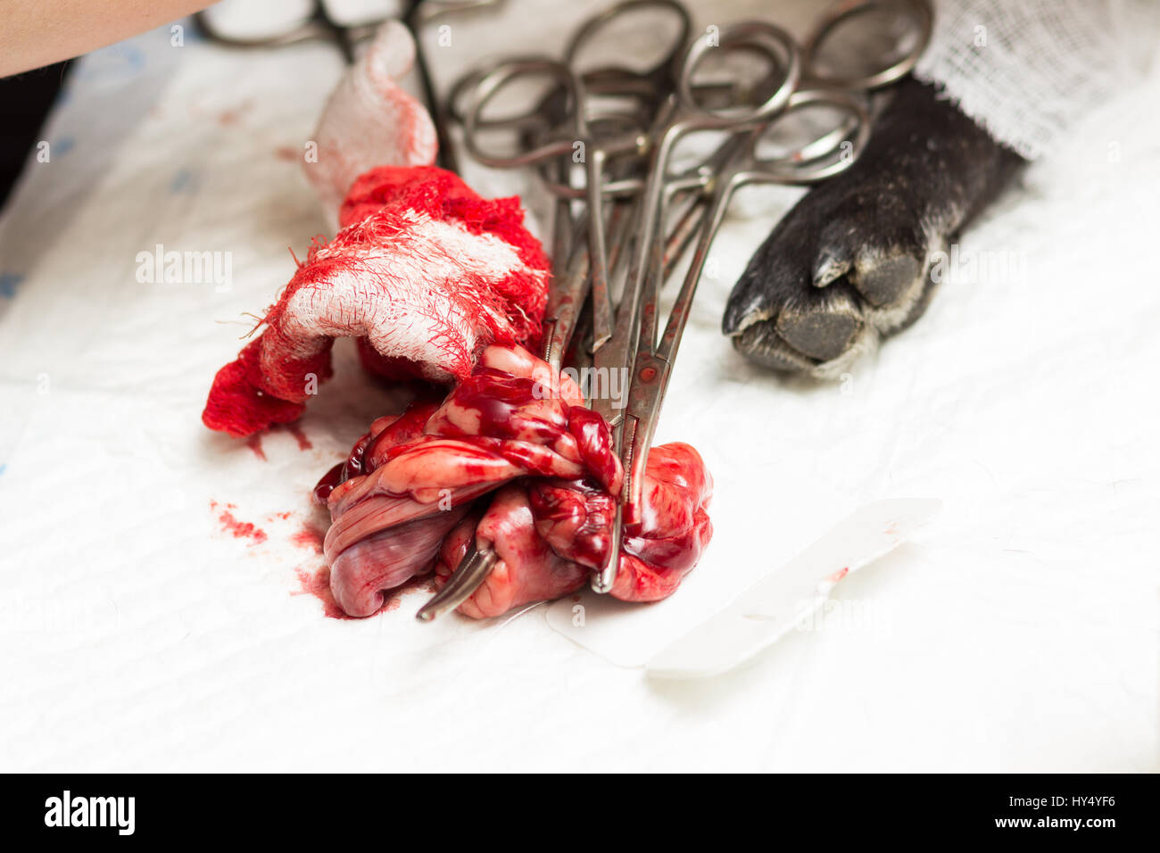 Veterinary, sterilization of a dog of the breed French bulldog, uterus and seminal canals removed during surgery - Stock Image