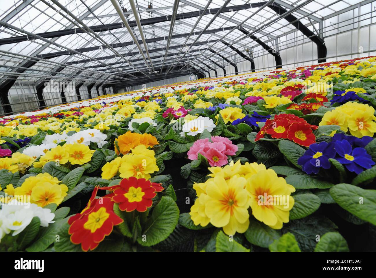 Coloured primroses in a greenhouse, Bunte Primeln in einem Gewaechshaus - Stock Image