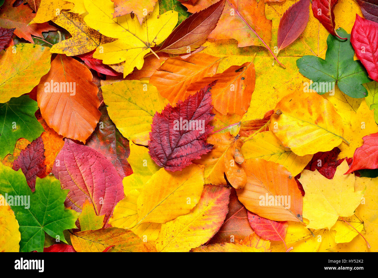 Coloured autumn sheets, Bunte Herbstblaetter Stock Photo