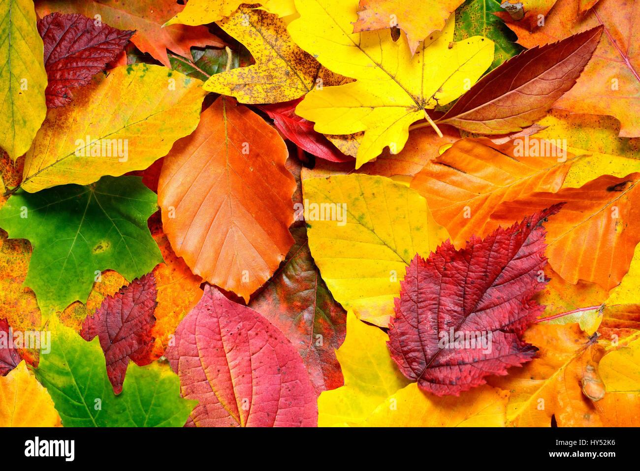 Coloured autumn sheets, Bunte Herbstblaetter Stock Photo