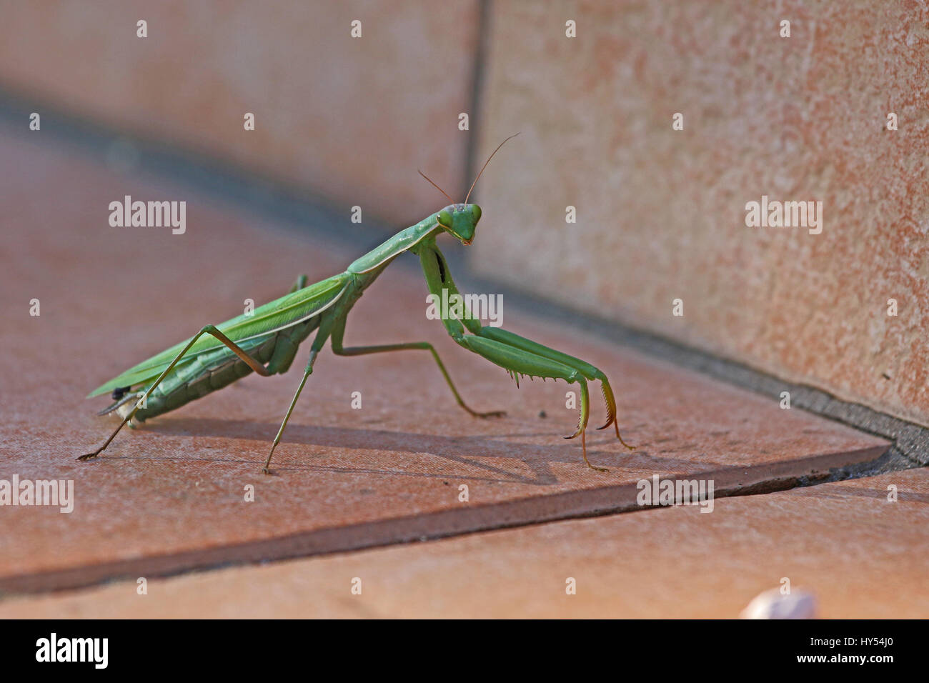 Praying mantis or mantid very close up Latin name mantis religiosa settled on a patio step in summer in Italy - Stock Image