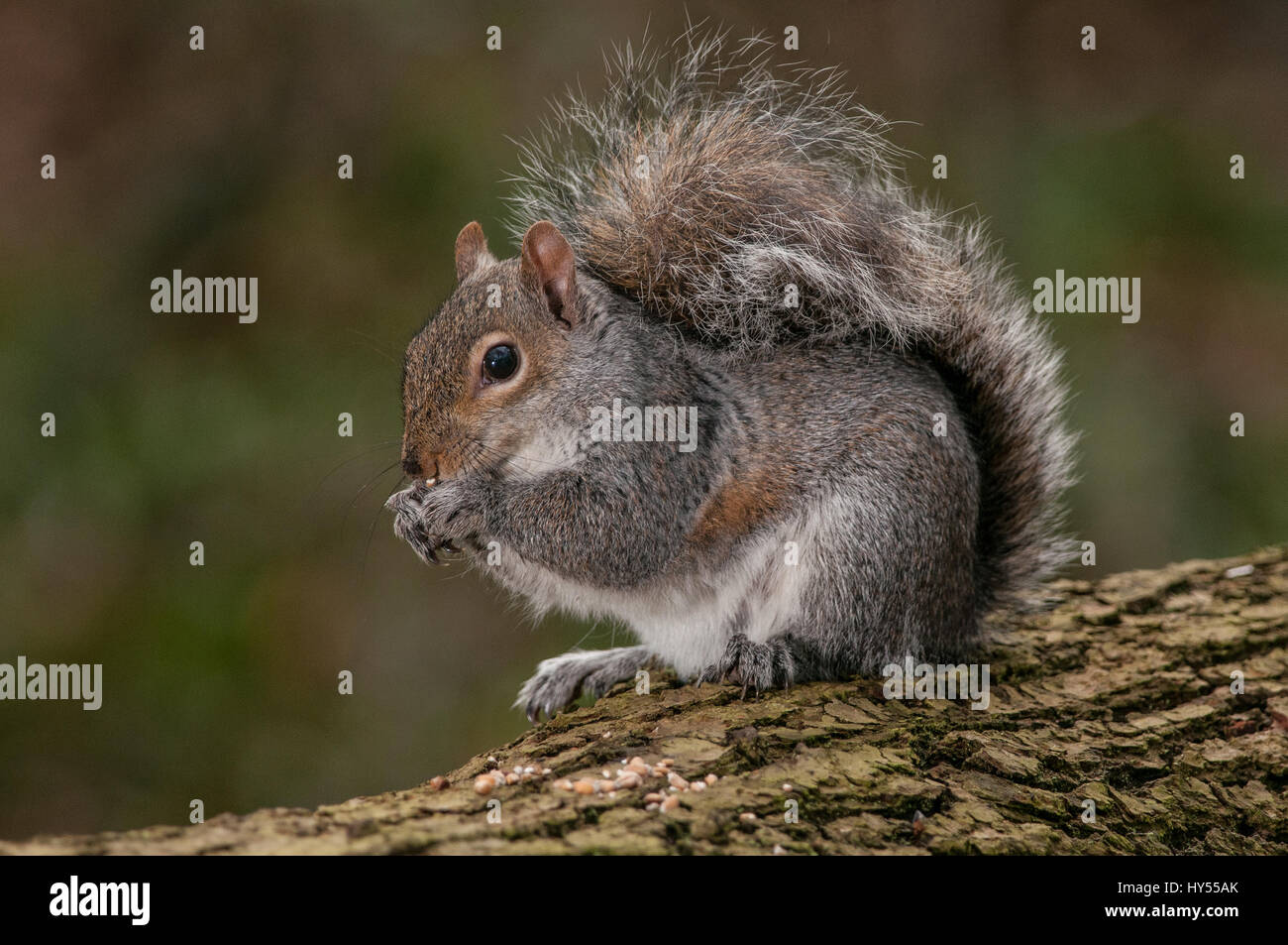 Grey Squirrel - Stock Image