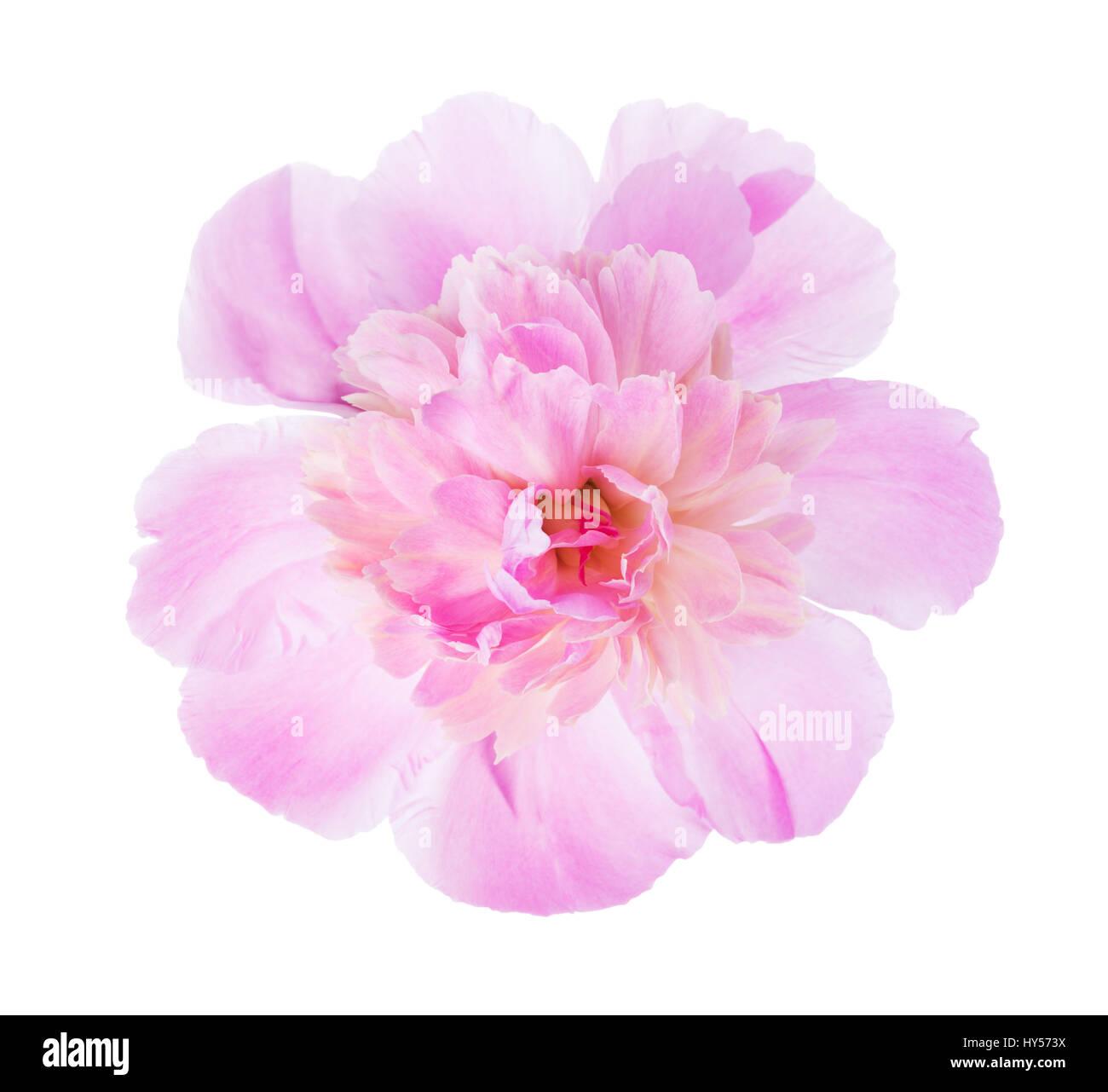 Pink peony  isolated on white background. - Stock Image
