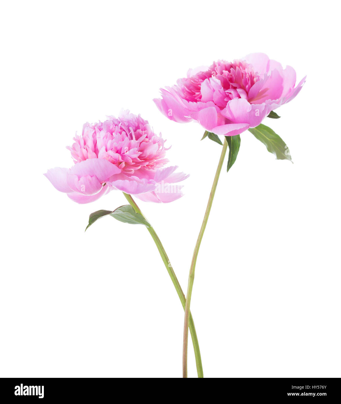 Two light pink peonies isolated on white background. - Stock Image