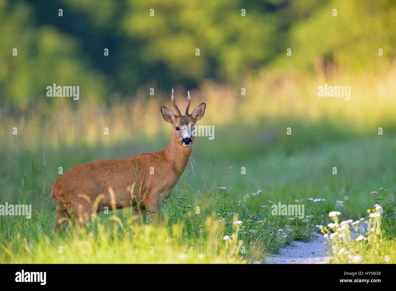 Sweden, Uppland, Lidingo, European roe deer (Capreolus capreolus) in meadow - Stock Image