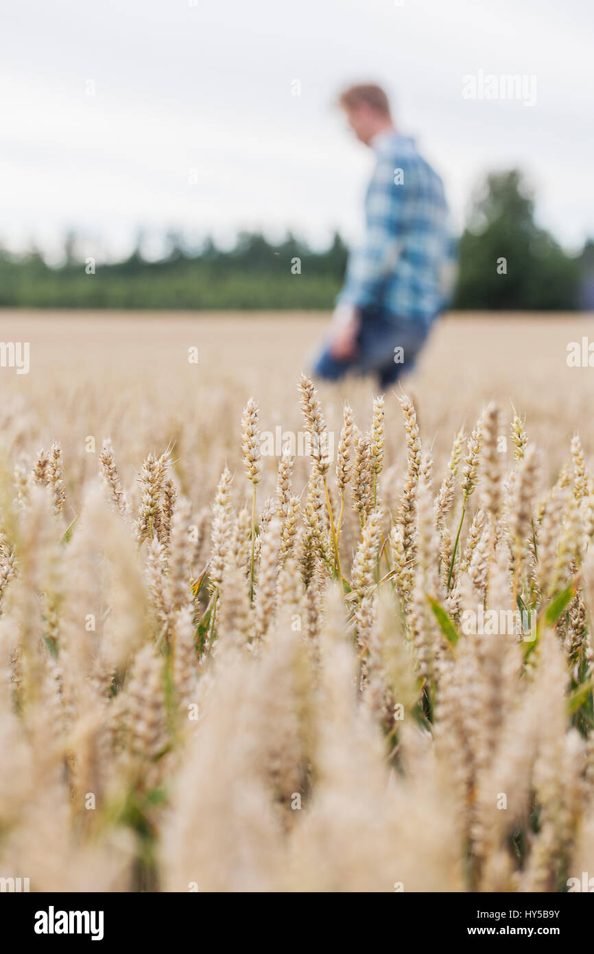 Finland, Uusimaa, Siuntio, Mid adult man walking in wheat field - Stock Image