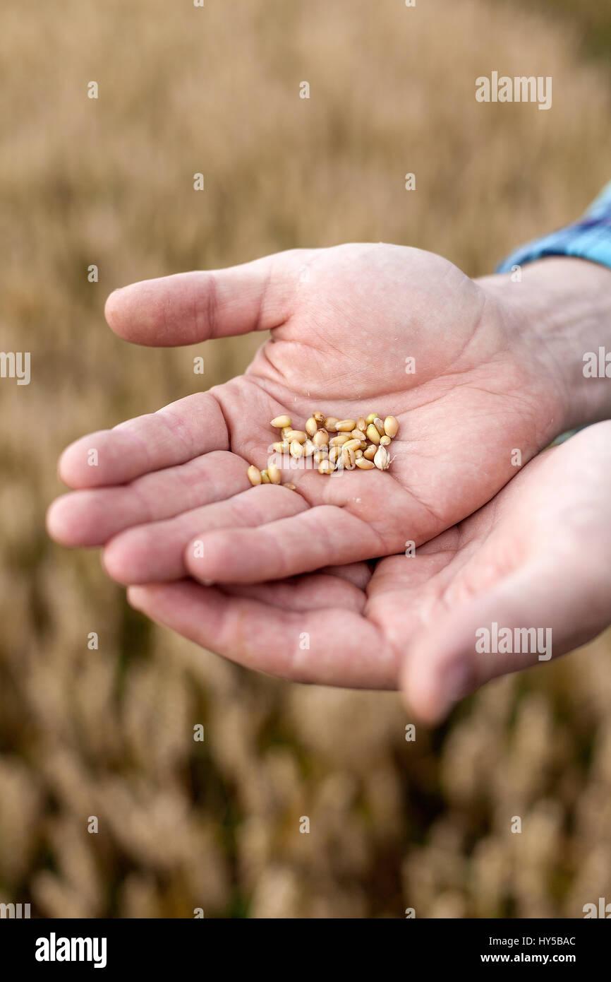 Finland, Uusimaa, Siuntio, Man´s hands holding wheat grain - Stock Image