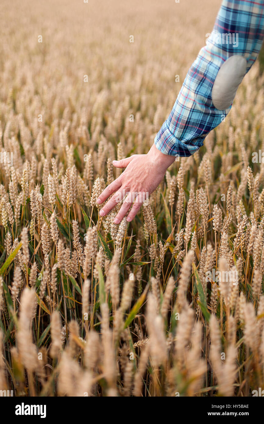 Finland, Uusimaa, Siuntio, Man´s hand touching wheat - Stock Image