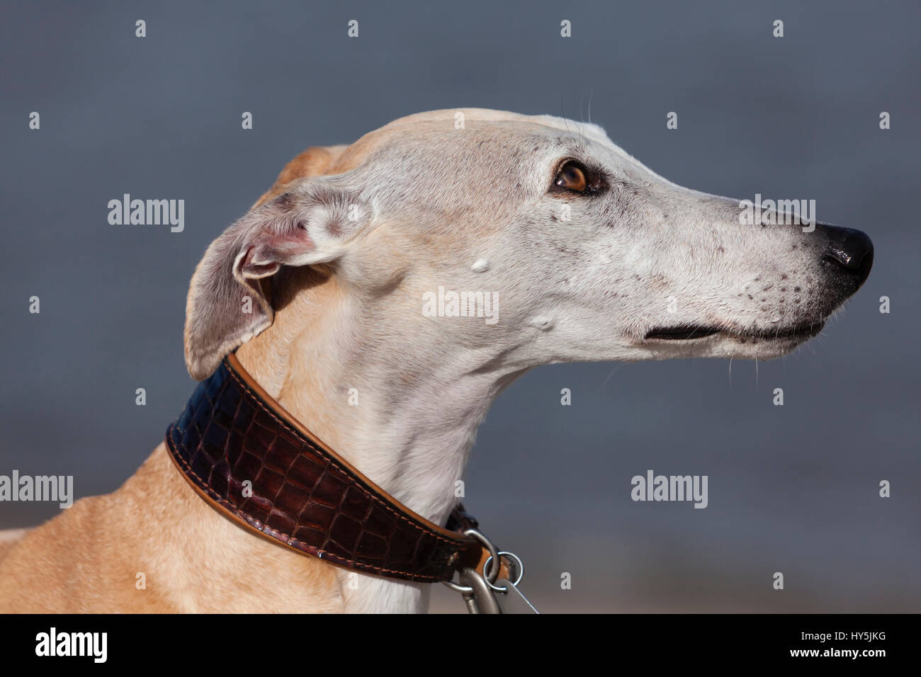 Outdoor portrait of Galgo Español or Spanish Greyhound - Stock Image