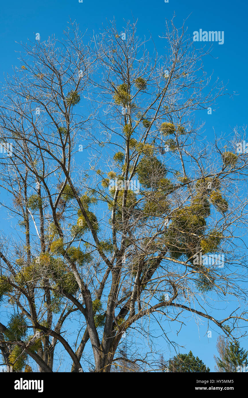Bare trees with mistletoes (Viscum), Munich, Bavaria, Germany - Stock Image