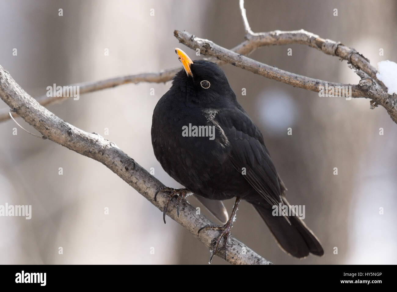 The photo shows a blackbird on a tree - Stock Image