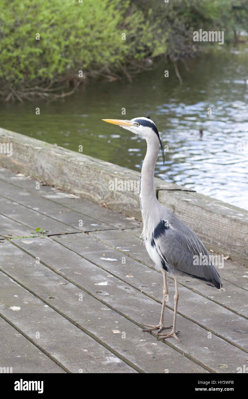 Great Grey Heron standing on a wooden bridge - Stock Image