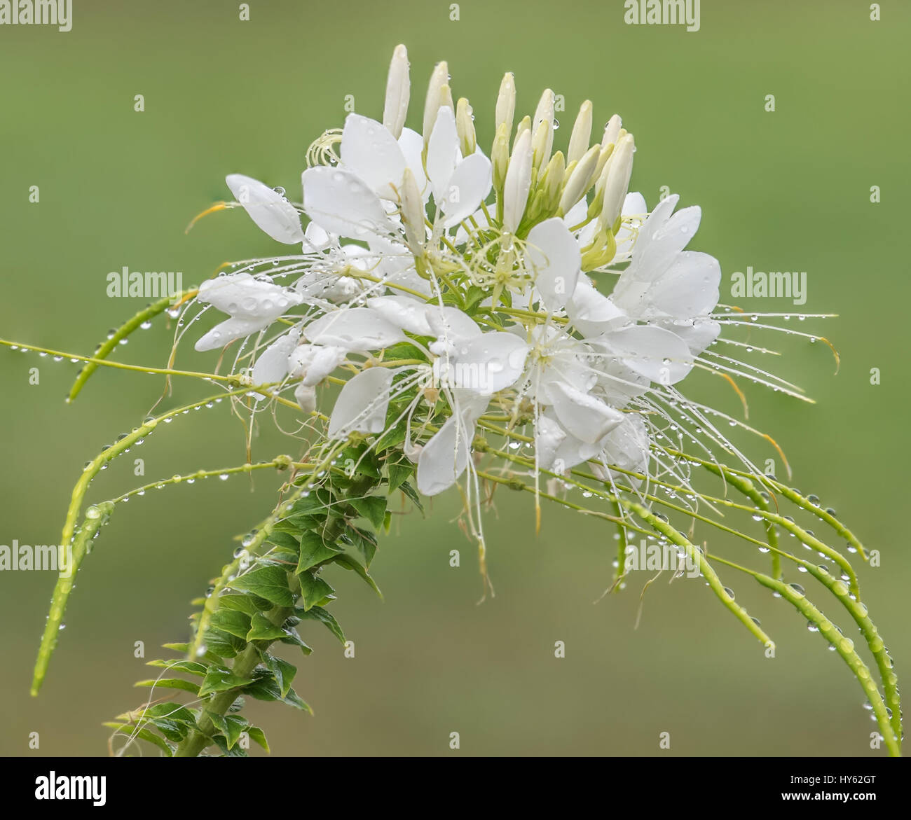 White spider flower blooming in the garden stock photo 137202040 white spider flower blooming in the garden mightylinksfo