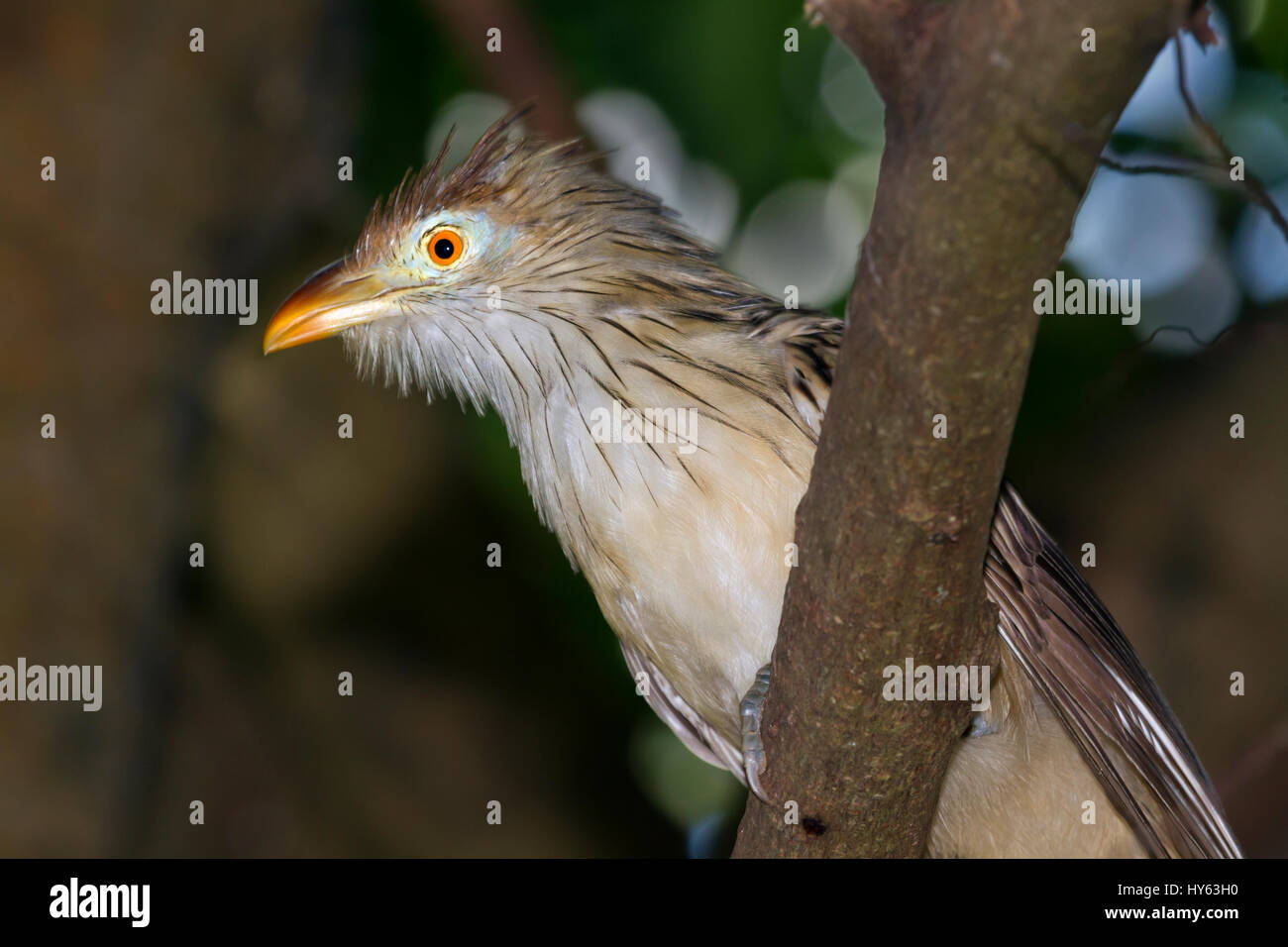 Two Guira Cuckoos (Guira guira) perched in foliage - Stock Image